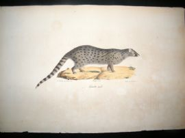 Saint Hilaire & Cuvier C1830 Folio Hand Colored Print. Genet